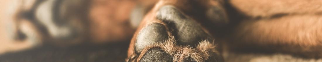 Hund mit Fieber