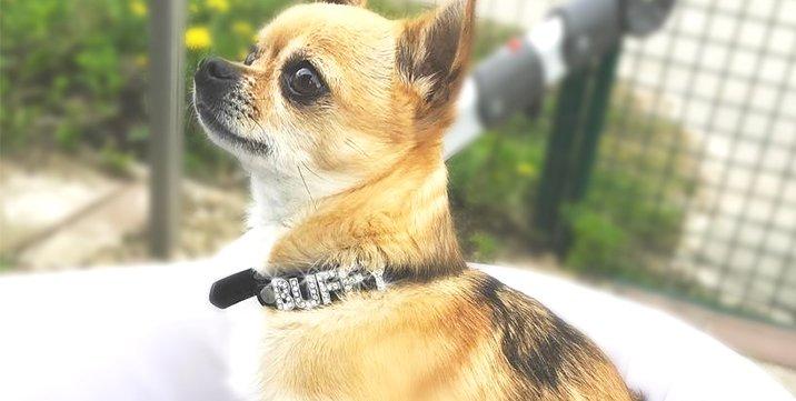 buffy-chihuahua-hundehalsband-name
